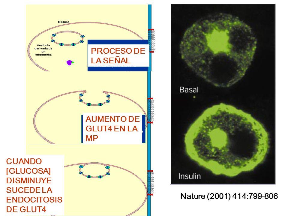 Nature (2001) 414:799-806PROCESO DE. LA SEÑAL. AUMENTO DE. GLUT4 EN LA. MP. CUANDO. [GLUCOSA] DISMINUYE.